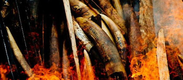 Ivory inferno_WWF-Canon_James Morgan 2